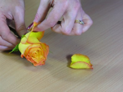 removing guard petals from roses