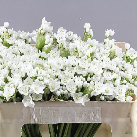 ALLIUM SPRAY WHITE