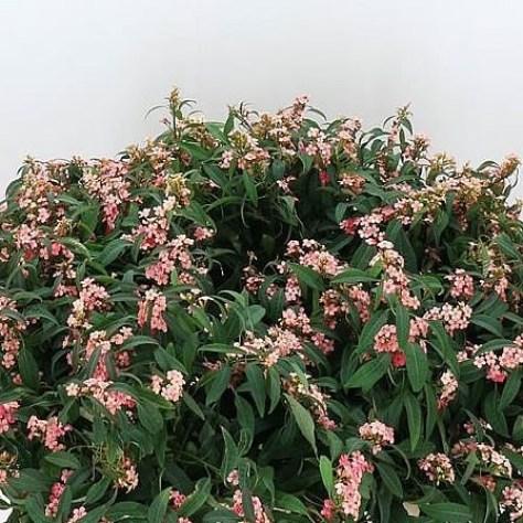 Euphorbia Pink Baron
