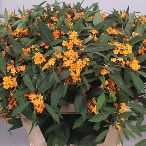 Euphorbia Sunstream