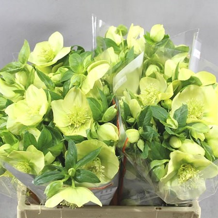 HELLEBORES QUEEN YELLOW