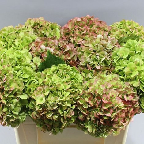 HYDRANGEA CANNON BALL CLASSIC GREEN/PINK