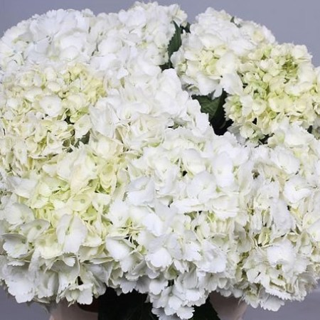 HYDRANGEA SOEUR THERESE