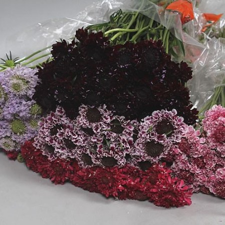 SCABIOUS MIX (COLS MAY VARY)