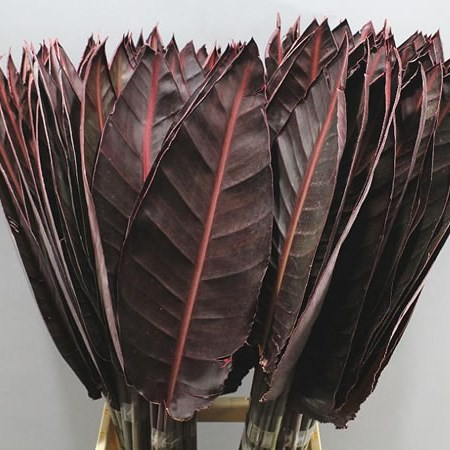 STRELITZIA LEAVES ABSORBED RED