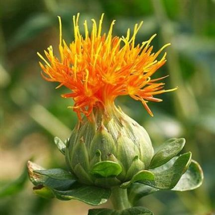 Carthamus orange