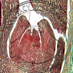 10-4KK Ginkgo biloba Embryo Prepared Microscope Slide