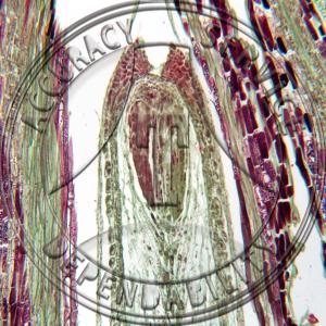 A-238-4Ephedra Ovule Prepared Microscope Slide