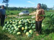 Camat Rambah Hilir didampingi Kepala Desa Rambah Muda melihat panen semangka