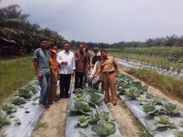 Bupati Rokan Hilir H.Suyatno didampingi kadis ketahanan pangan Rohil Isa Ahmadi saat meninjau tanaman Holtikultura di kecamatan Batu Hampar