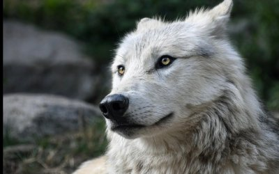A White Wolf in the Living Room
