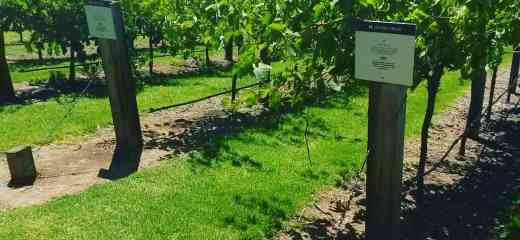 Vineyard - Barossa Valley - Trick or Trip