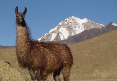 Lhama no Condoriri - Bolívia