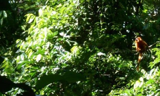 Mico leão dourado é avistado no Rio após mais de um século