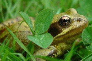 Frogs love to feast on garden slugs