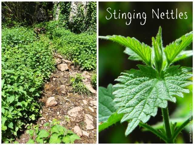 I enjoy lots of walks in the countryside gathering nettles in the spring