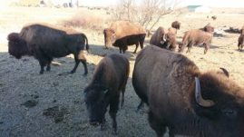 BISONS TERRY RANCH