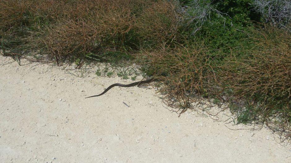 Un serpent qui traverse le chemin devant nous
