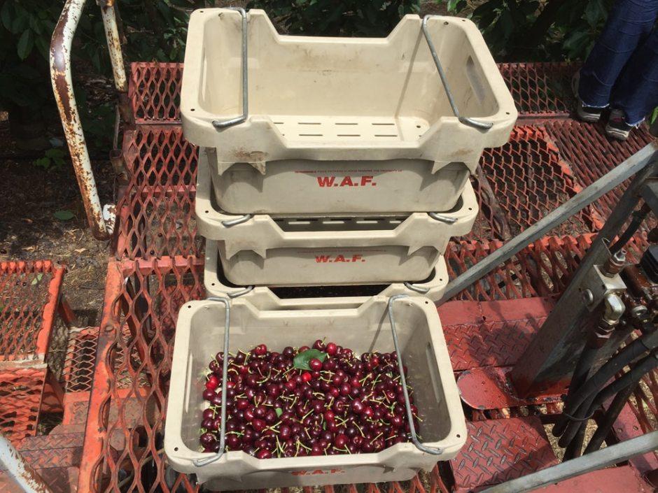 Les paniers de cerises