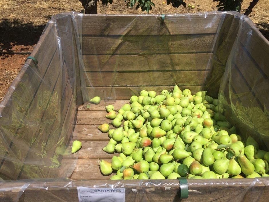 bin-pear-half
