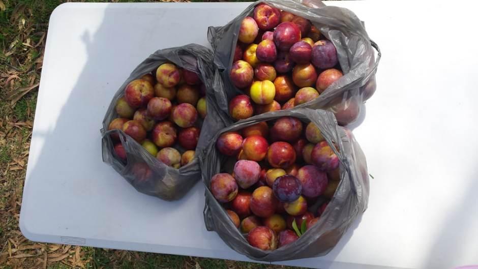 Notre collection de prunes