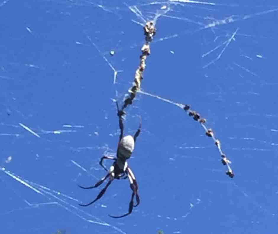 pruning-spider