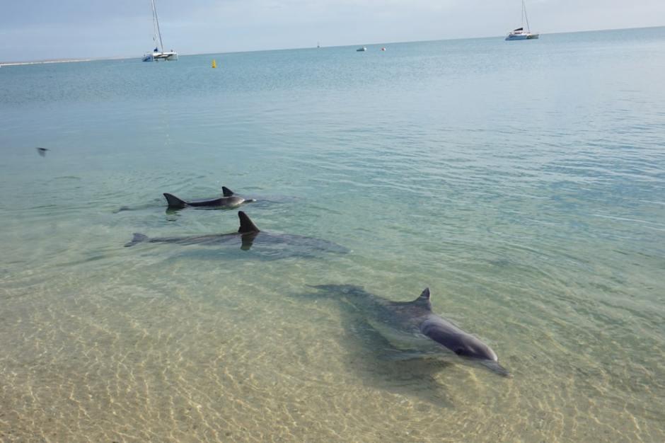 monkey-mia-dolphin-2