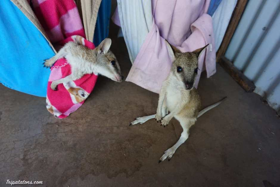 kangaroo-haven-wallabies-bed