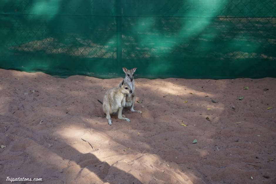 kangaroo-haven-wallabies