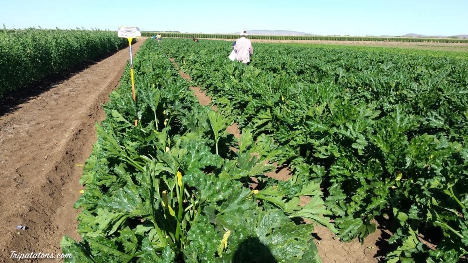 picking-zucchinis