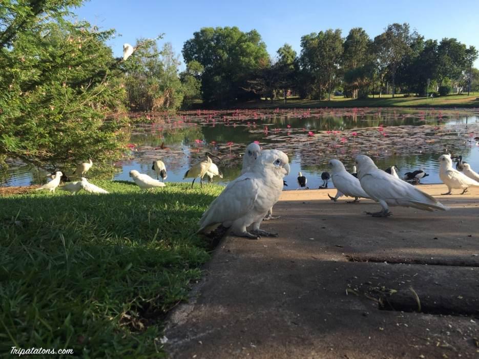 darwin-parrot-3