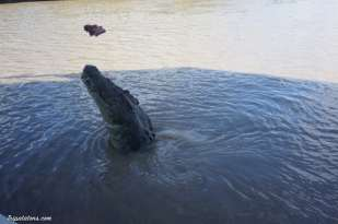 jumping-crocodiles-8
