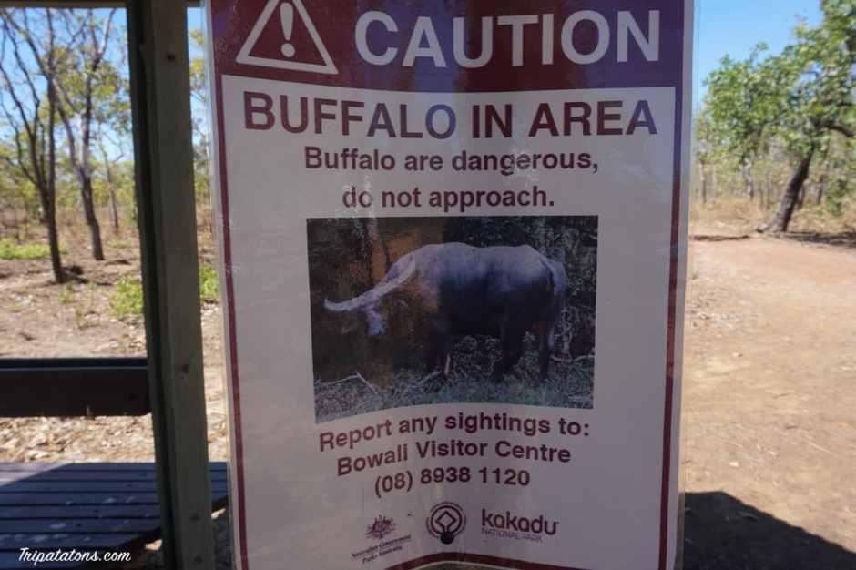 nanguluwur-buffalo