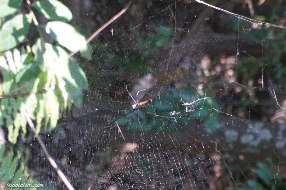 wangi-falls-golden-orb-spider