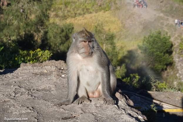 mount-batur-summit-monkey-2