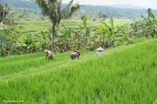 rice-terrace-jatiluwih-8