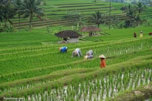 rice-terrace-jatiluwih-9