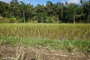 tegallalang-rice-terraces-3