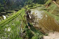 tegallalang-rice-terraces-4