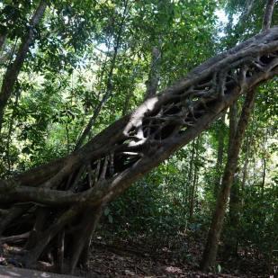 arbre célèbre sur la Marrja Botanical Walk