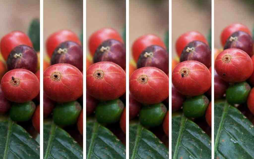 Coffee Berry Borer
