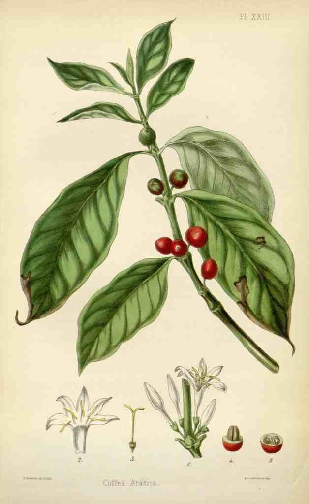 Botanical illustration of Coffea arabica