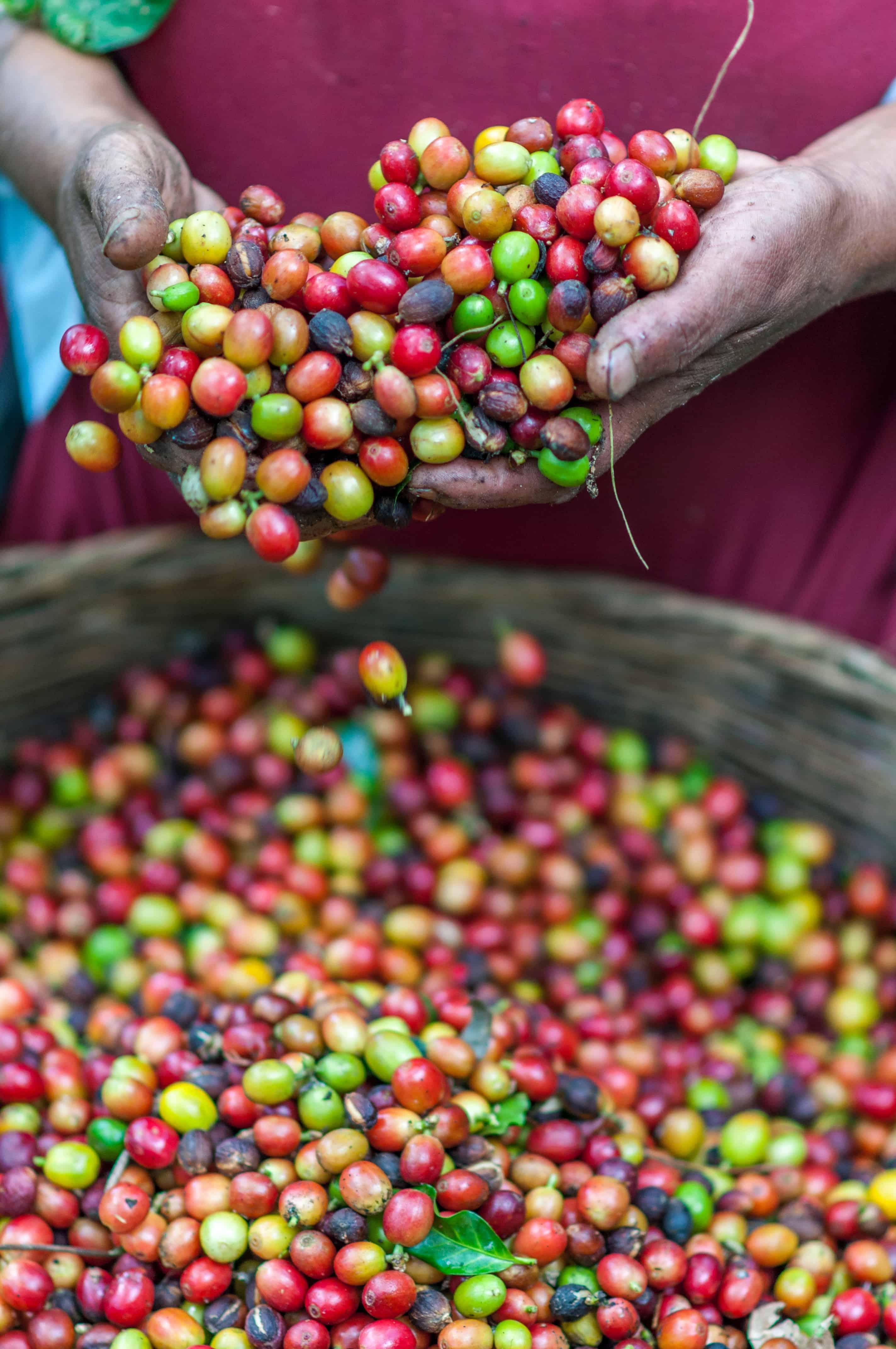 Sorting Coffee Berries