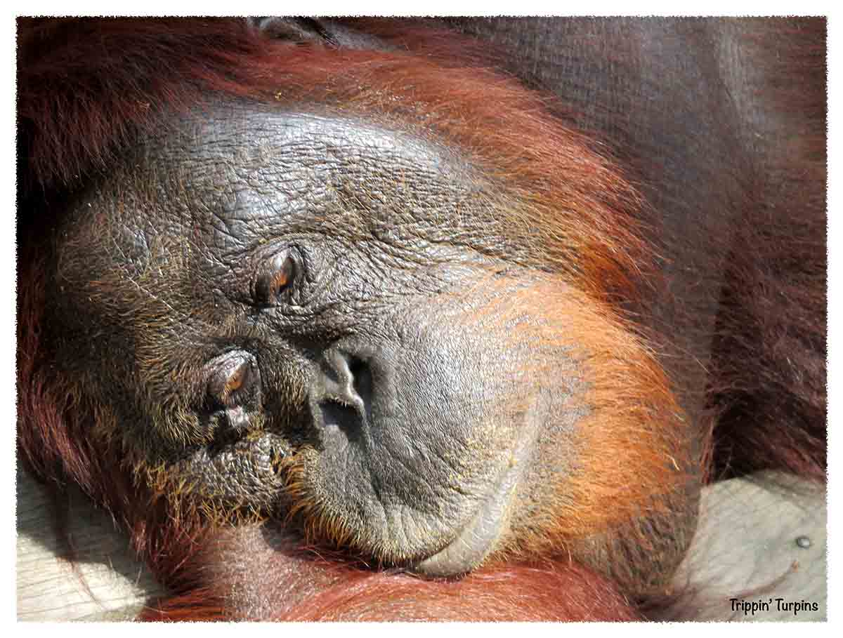 One Very Awesome Orang-utan experience!