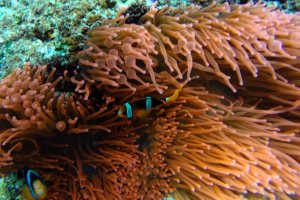 Clownfish in red sea anemonie, Indonesia
