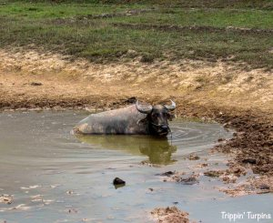 Buffalo wallowing in the mud, Laos