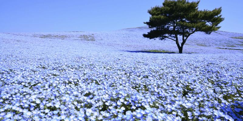 【東京近郊】日本茨城縣常陸海濱公園賞花懶人包,交通、門票、花期總整理