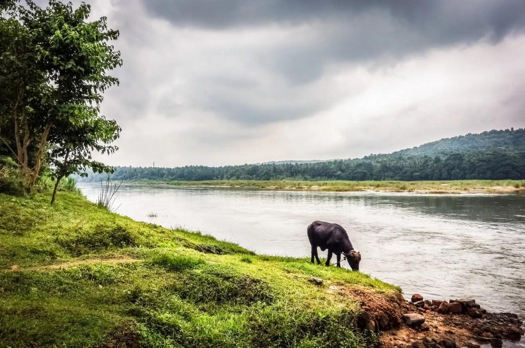 Buffalo alongside the River Nila.