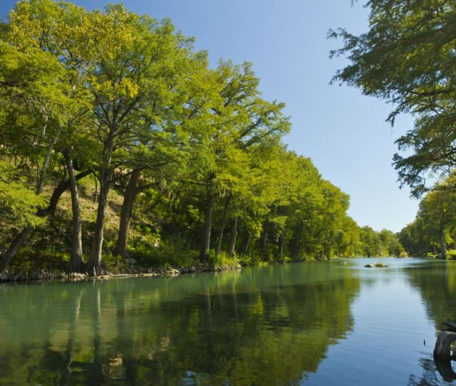 Bald Cypress Trees At Gruene Near New Braunfels Guadalupe River Texas Usa