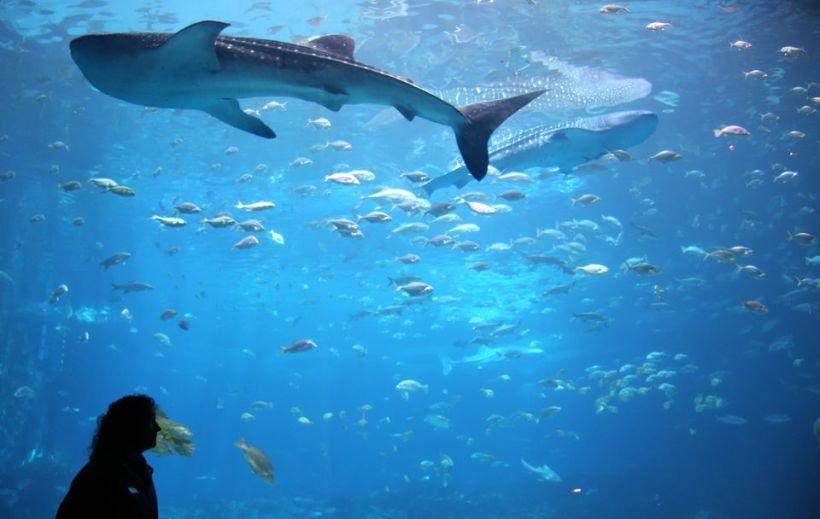 Whale Shark In Giant Aquarium Tank